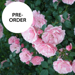 Shop Landscape Shrub Roses