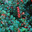 Cotoneaster Evergreen