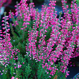 Spring and Summer Heather