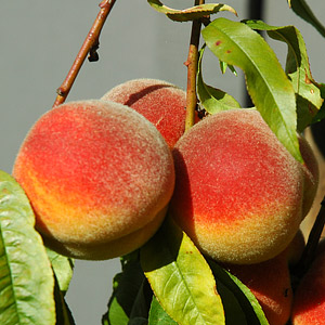 Peach and Nectarine Trees