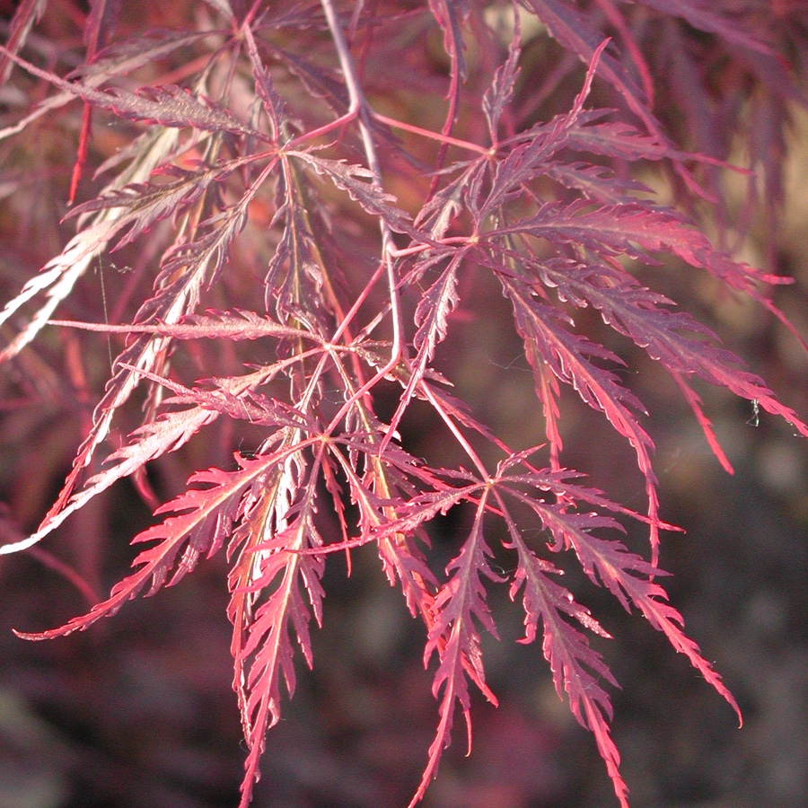 Acer palmatum dissectum 'Inabe Shidare' - Staked