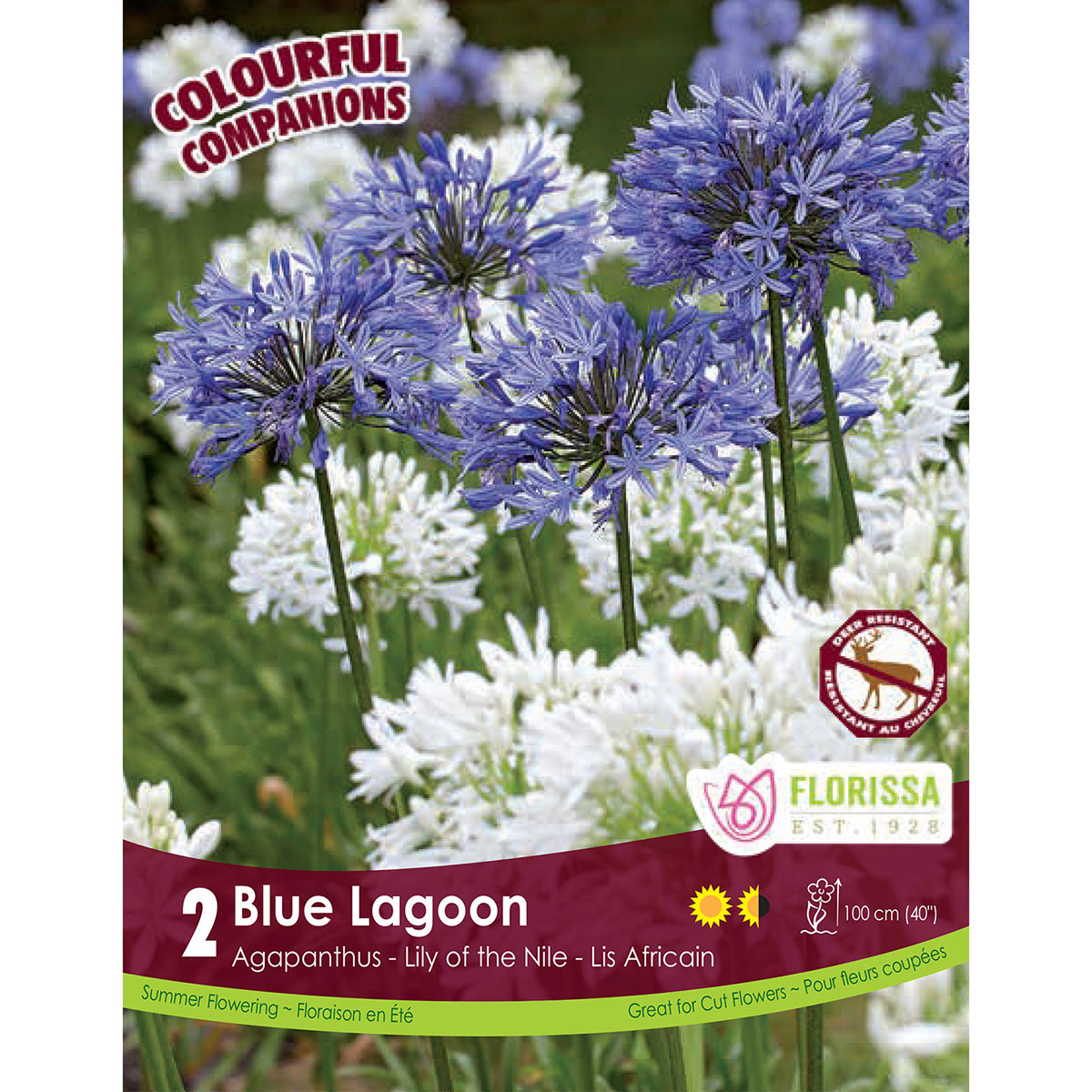 Agapanthus 'Blue Lagoon' Bulbs
