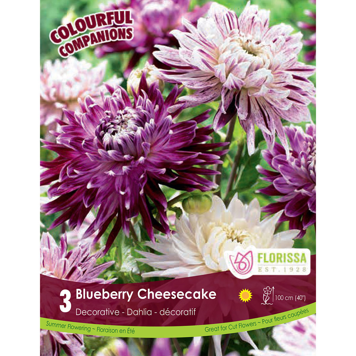 Dahlia 'Blueberry Cheesecake' Tubers