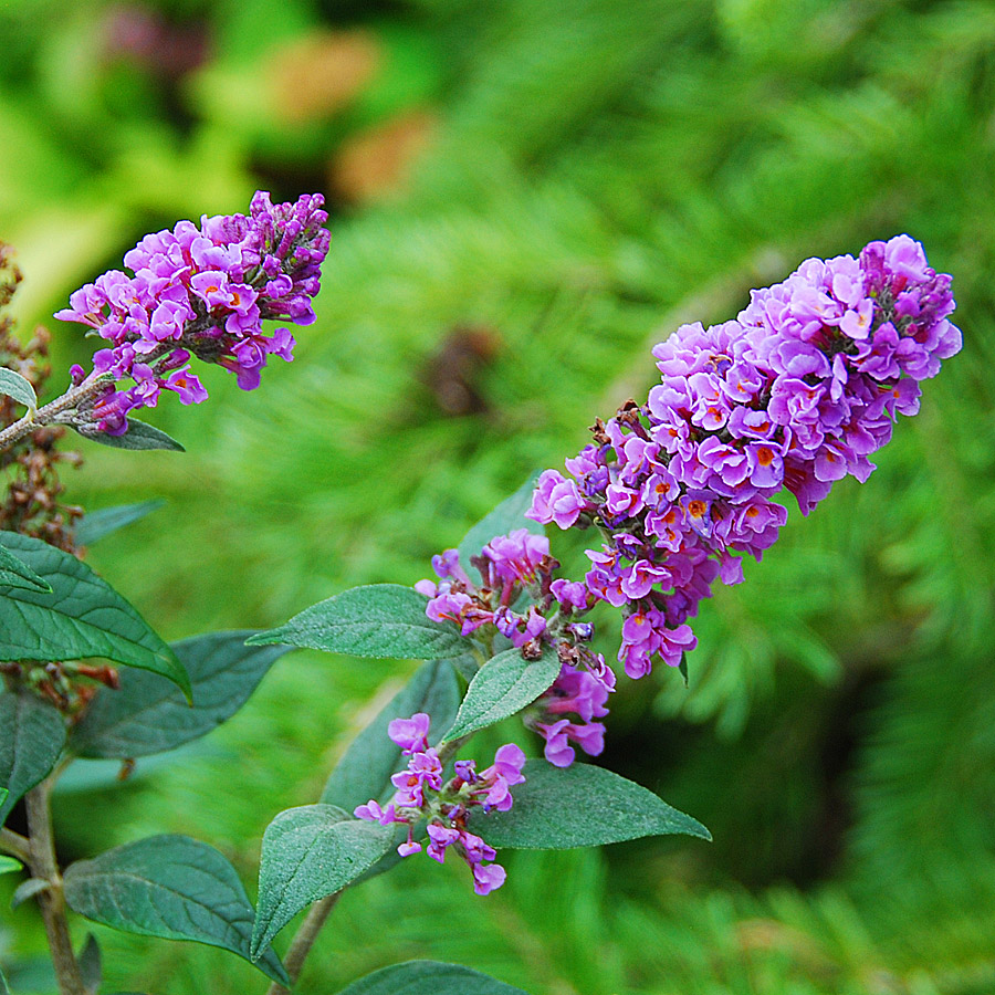 Buddleia 'Blue Chip'