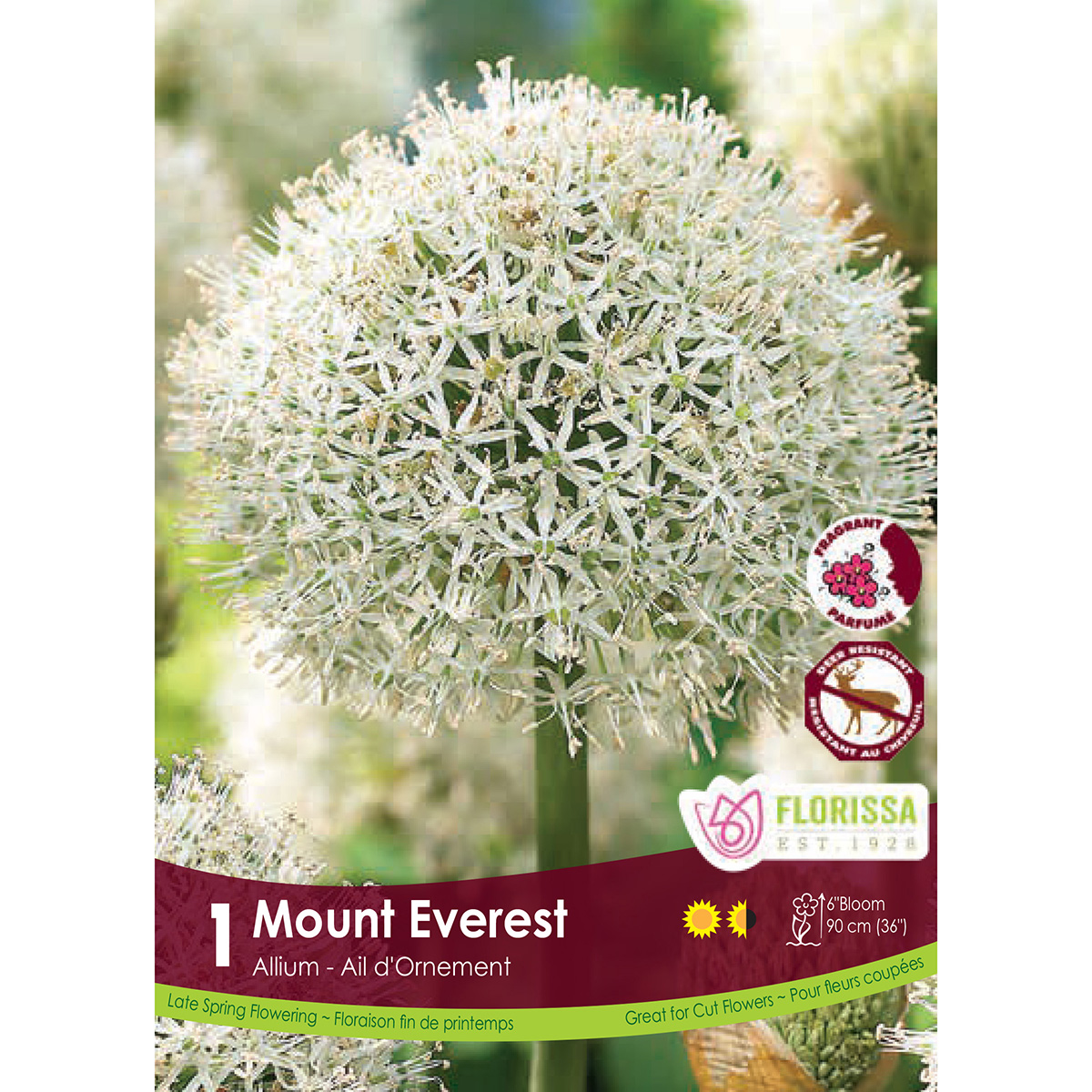 Allium 'Mount Everest' Bulb