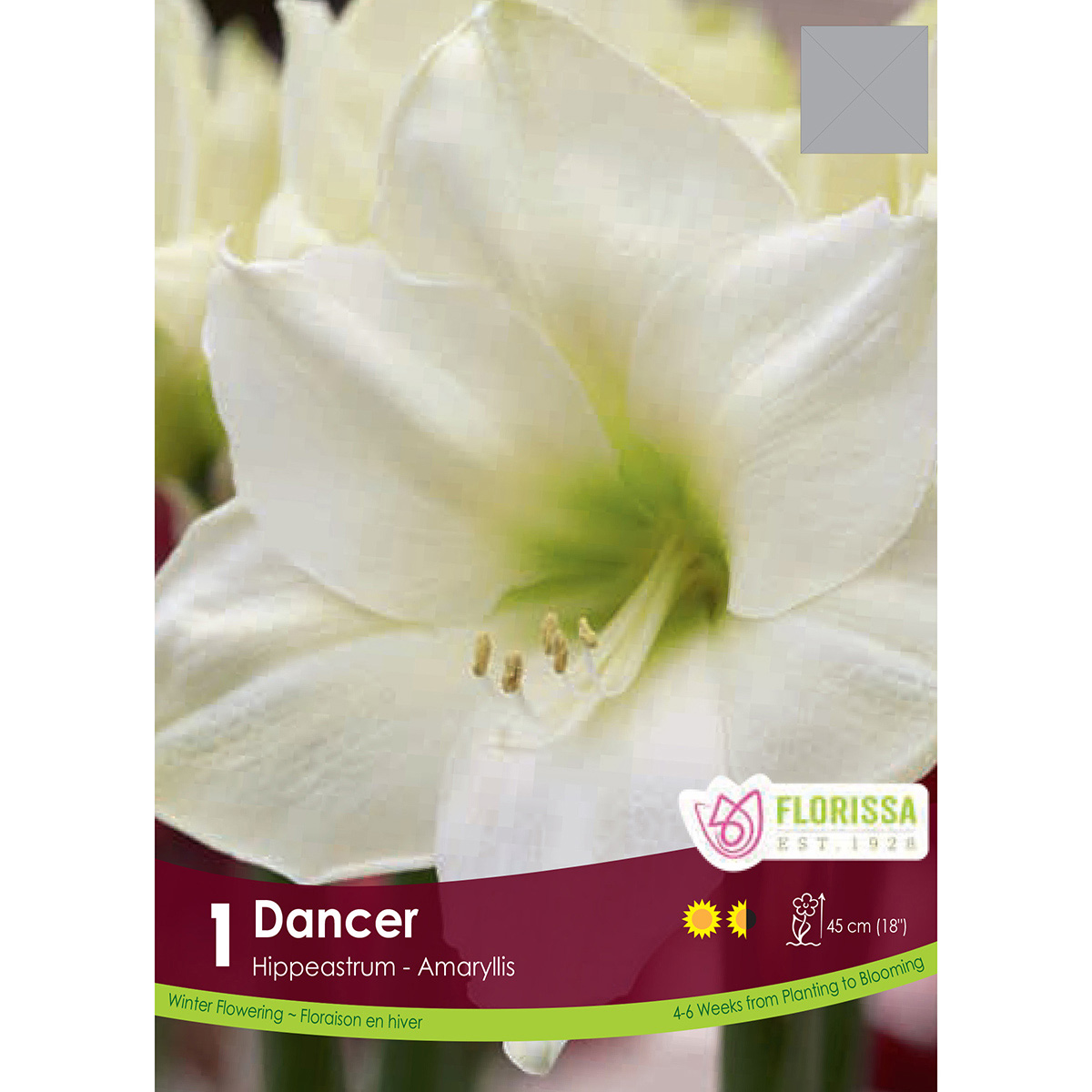 Amaryllis 'Dancer' Bulb