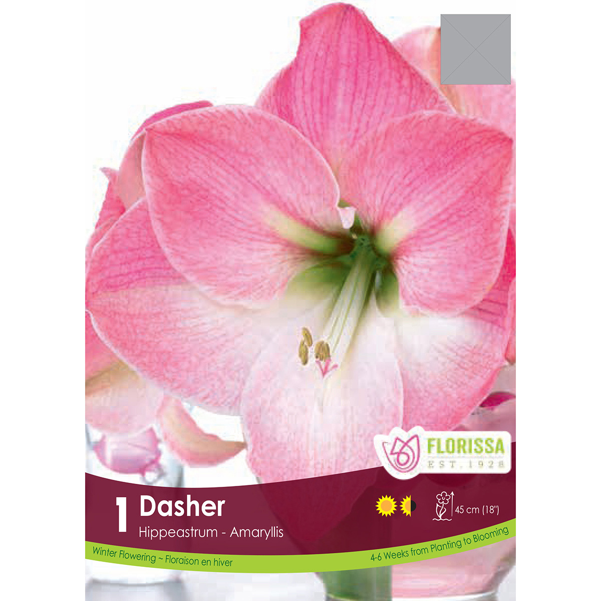 Amaryllis 'Dasher' Bulb