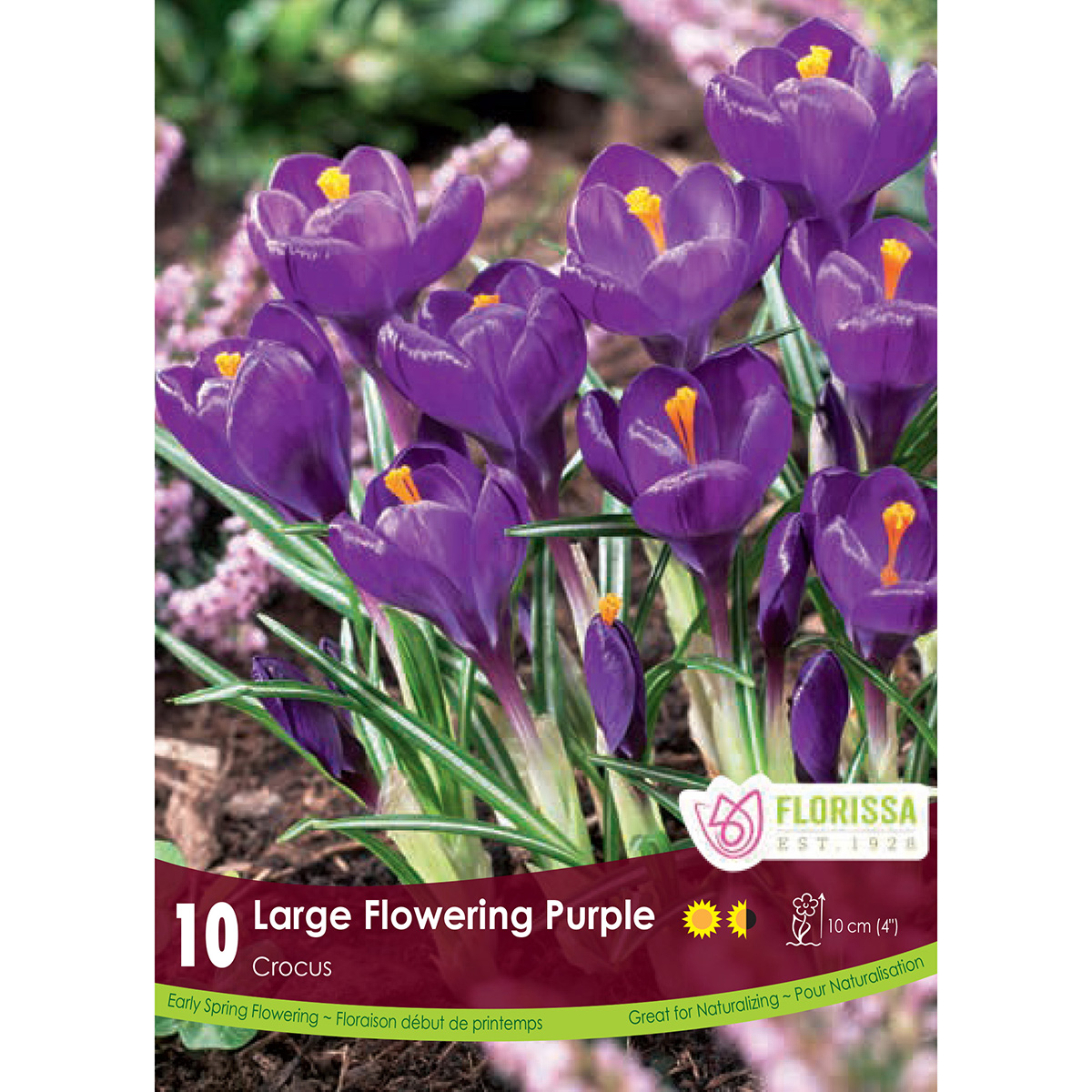 Crocus 'Large Purple' Bulbs