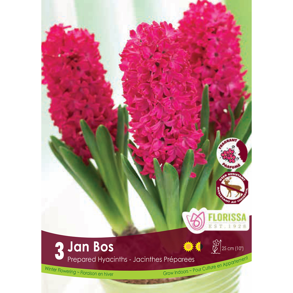 Prepared Hyacinth 'Jan Bos' Bulbs