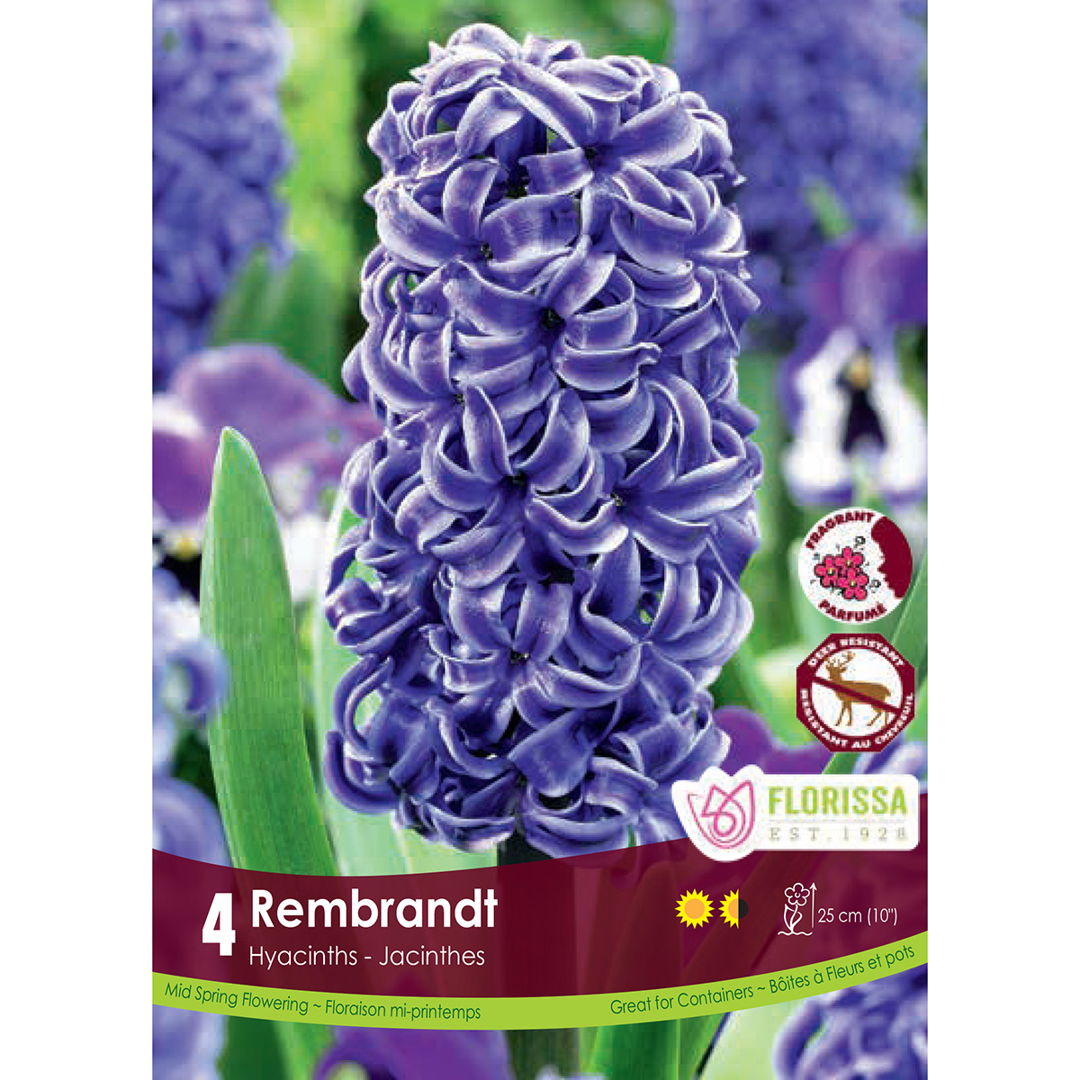 Hyacinth 'Rembrandt' Bulbs