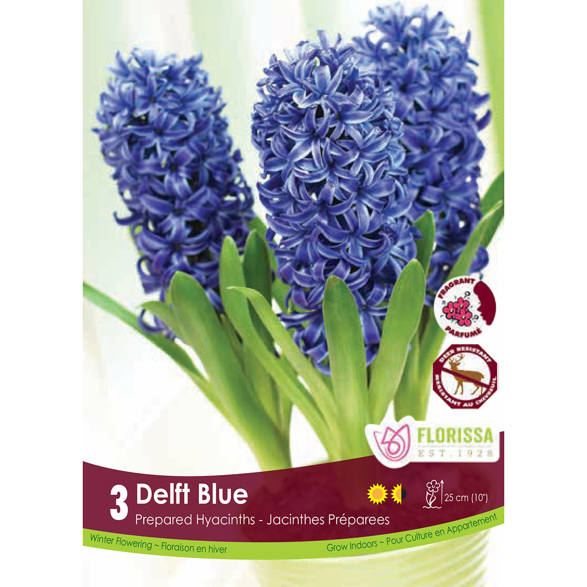 Prepared Hyacinth 'Delft Blue' Bulbs
