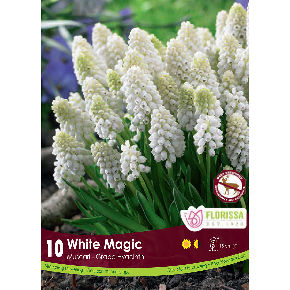 Muscari 'White Magic' Bulbs