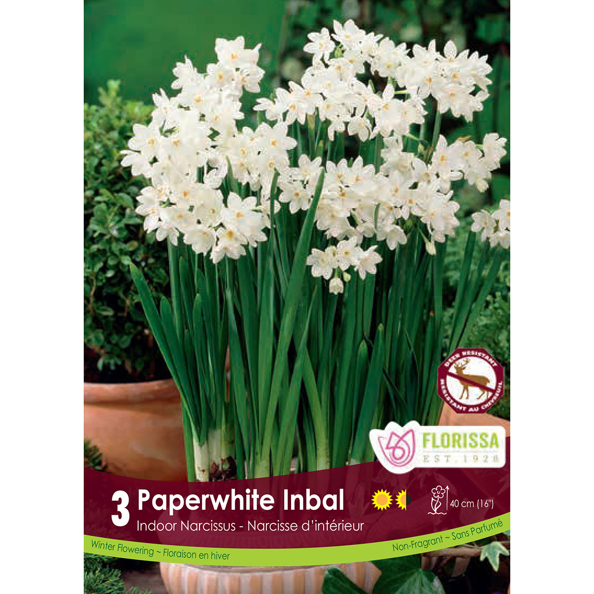 Narcissus 'Paperwhite Inbal' Bulbs