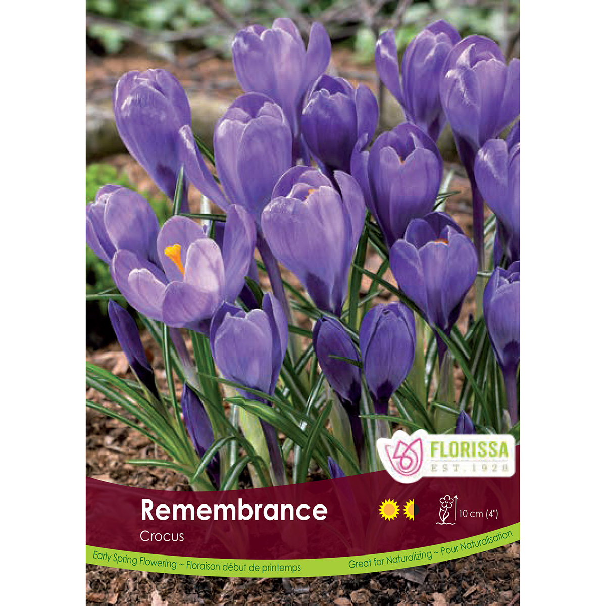Crocus 'Remembrance' Bulk Bulbs