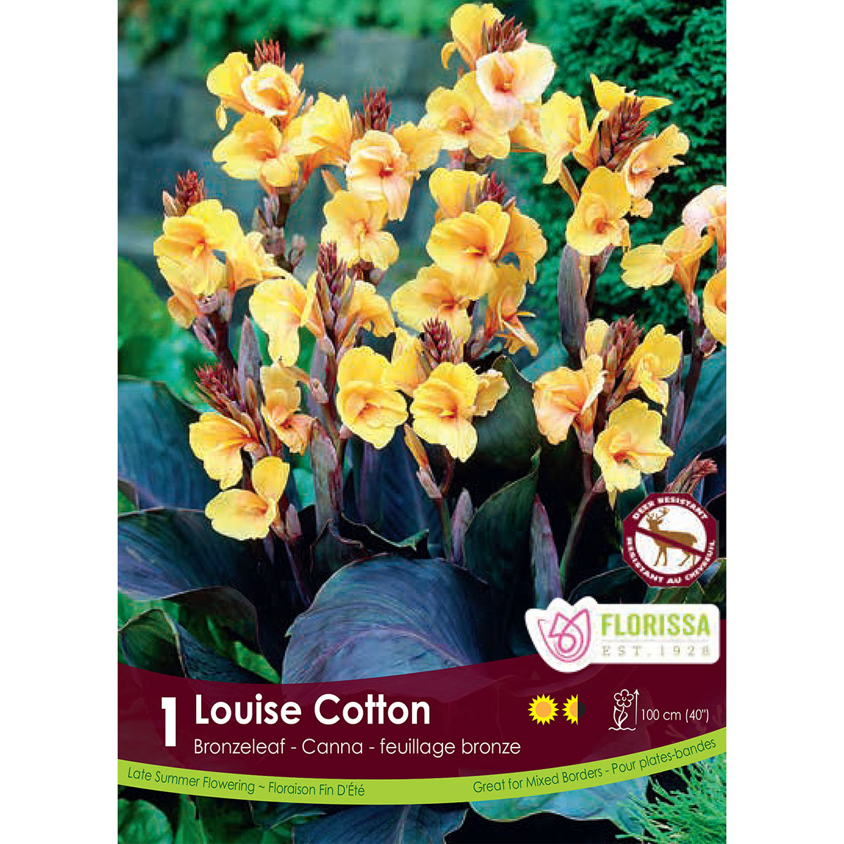 Canna 'Louise Cotton' Root