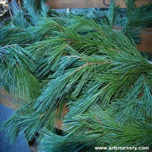 Christmas Greens White Pine