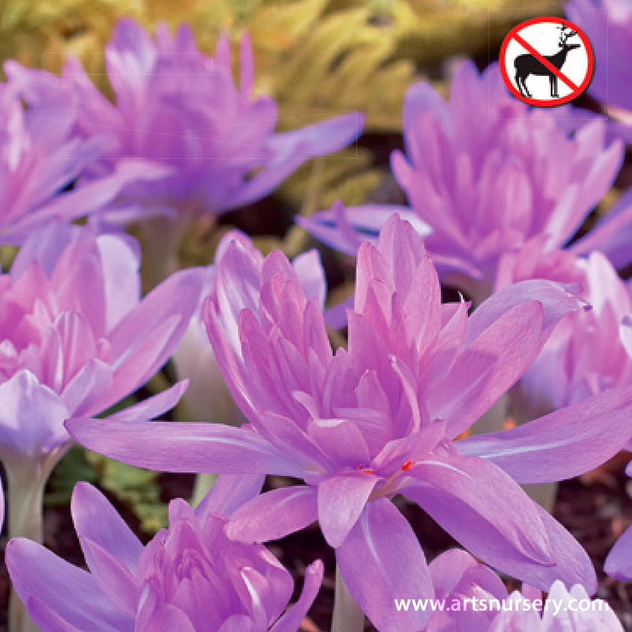 Colchicum Waterlily Bulb
