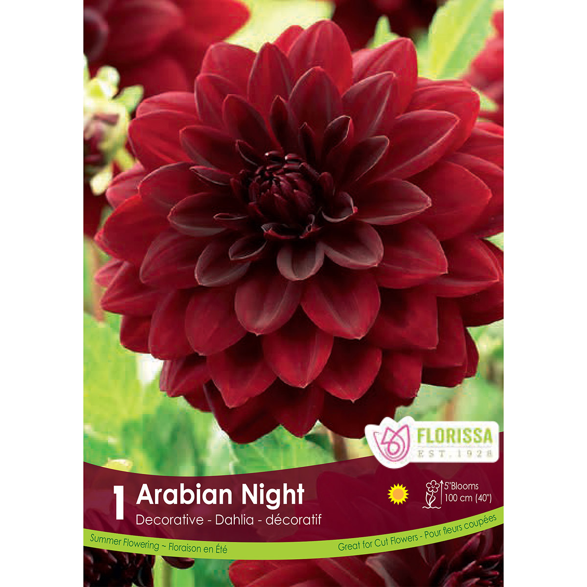Dahlia 'Arabian Night' Tuber