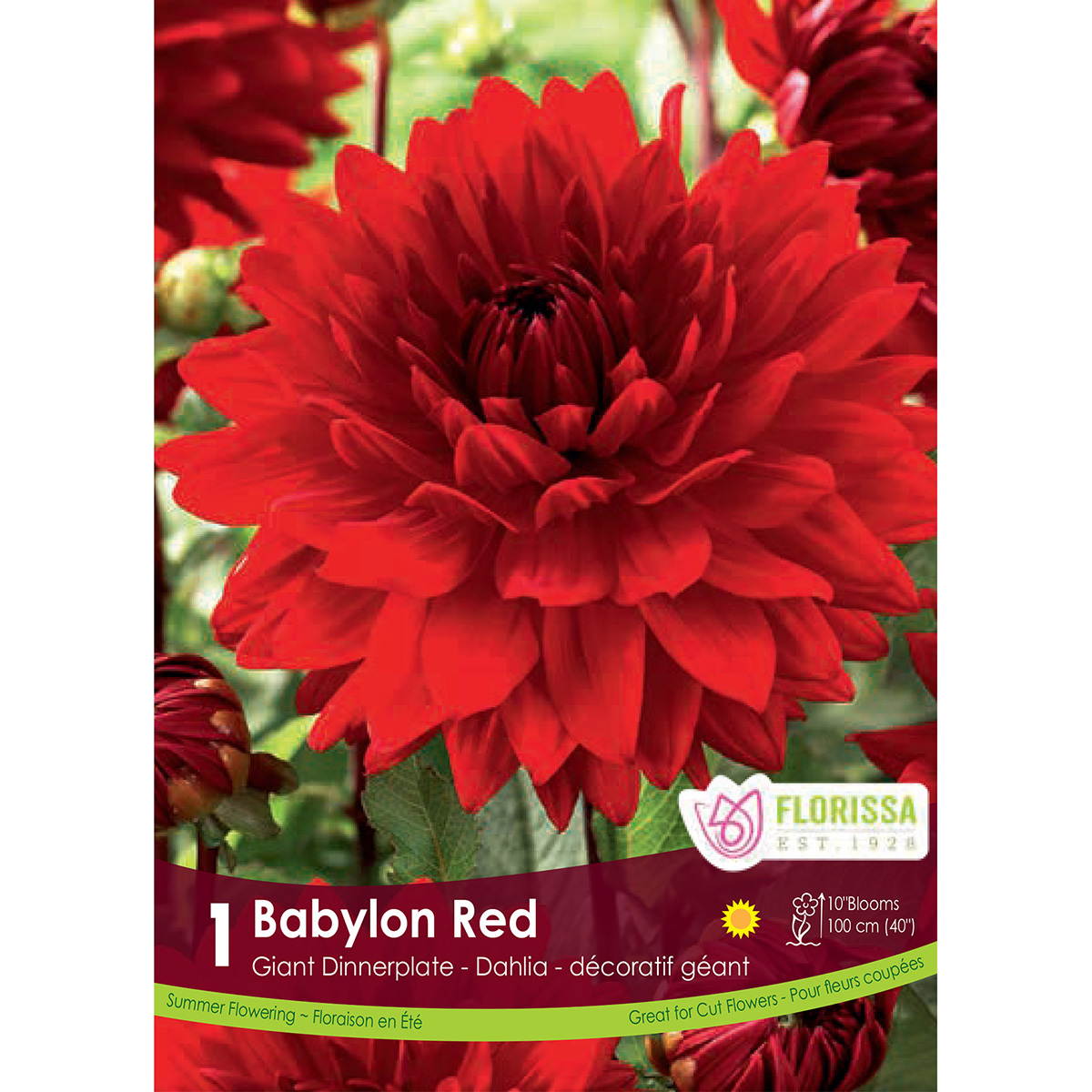 Dahlia 'Babylon Red' Tuber