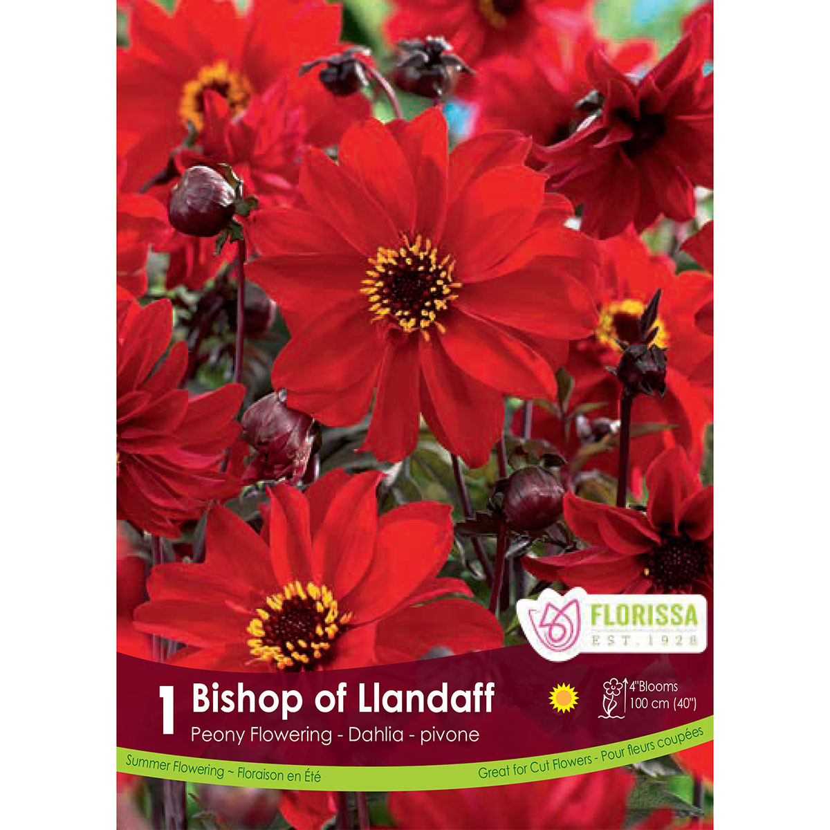 Dahlia 'Bishop of Llandaff' Tubers