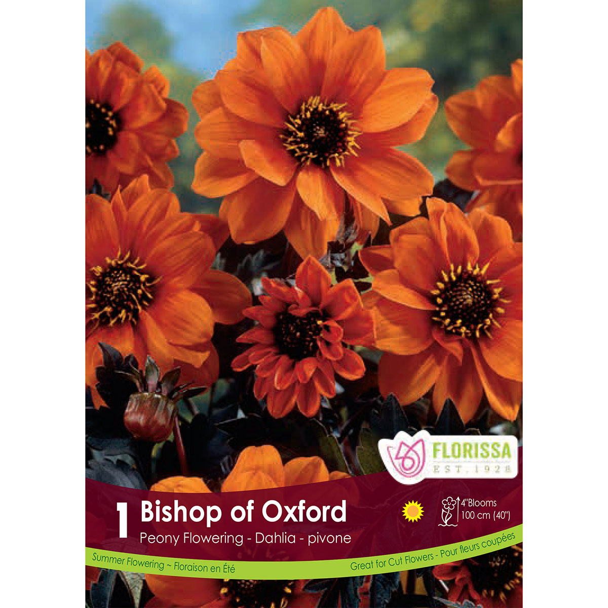 Dahlia Bishop of Oxford' Tubers