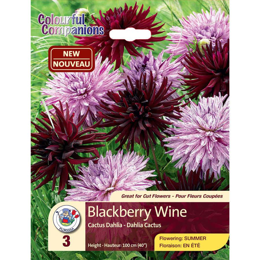 Dahlia Blackberry Wine Colourful Companions Pack