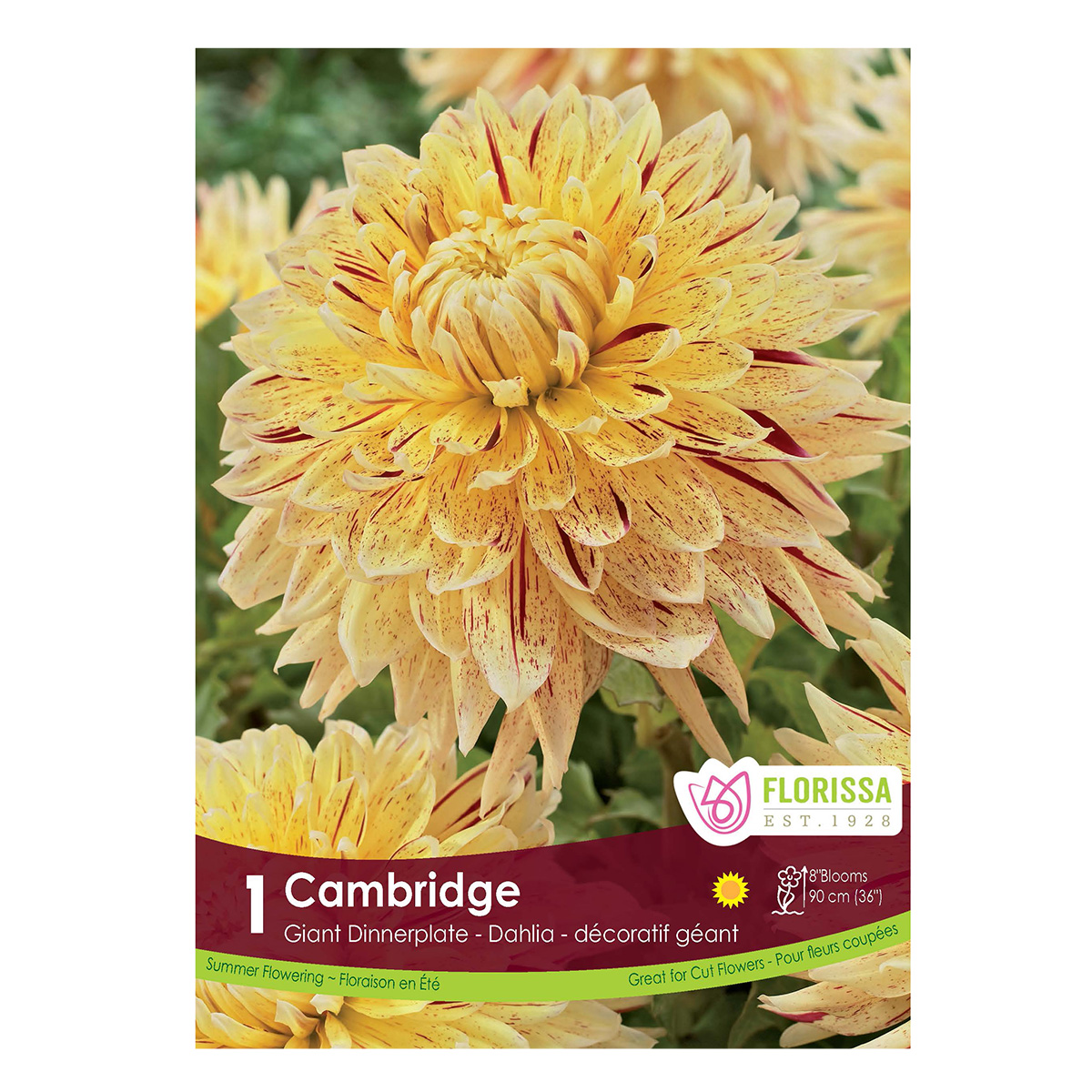 Dahlia Cambridge Tuber