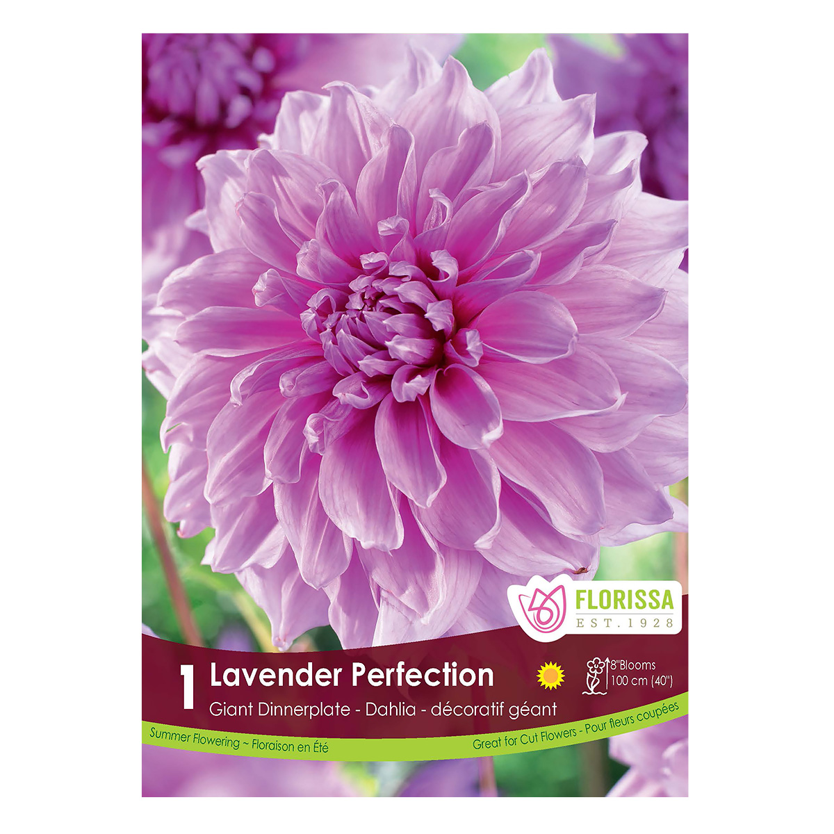 Dahlia Lavender Perfection Tuber