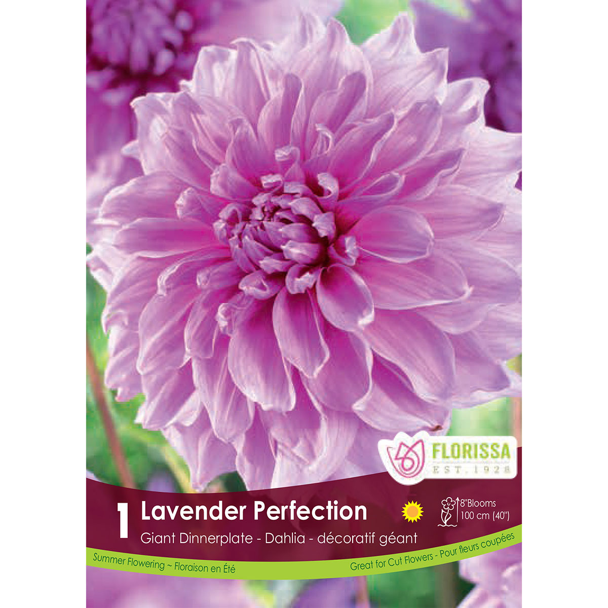 Dahlia 'Lavender Perfection' Tuber