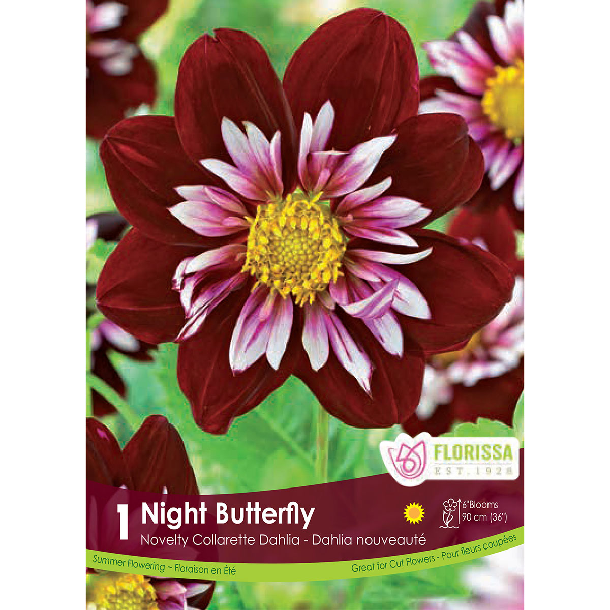 Dahlia 'Night Butterfly' Tuber