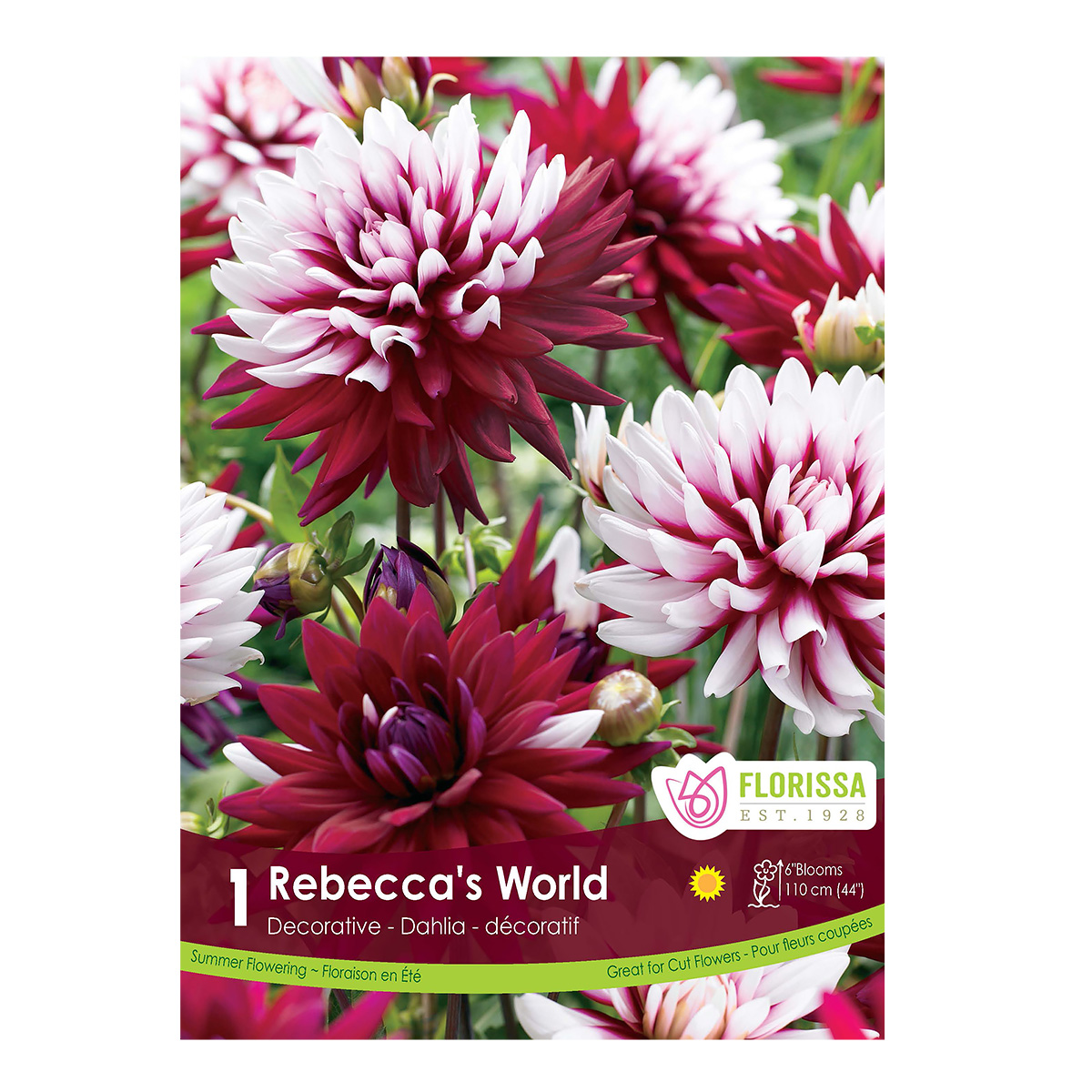 Dahlia Rebeccas World Tuber