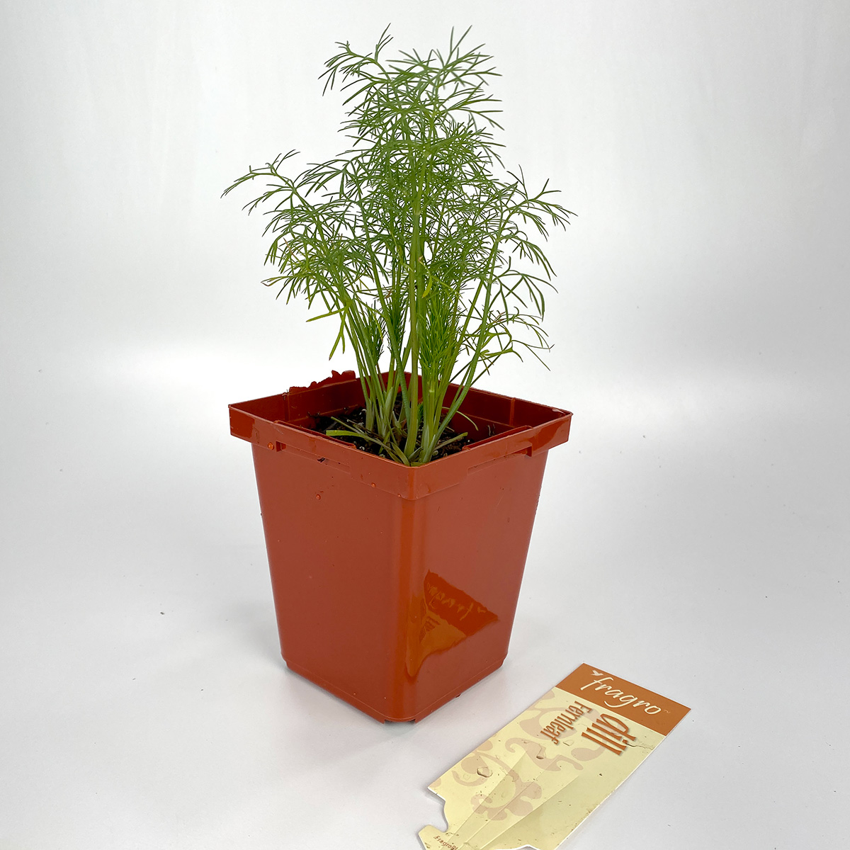 Dill Fernleaf 4in