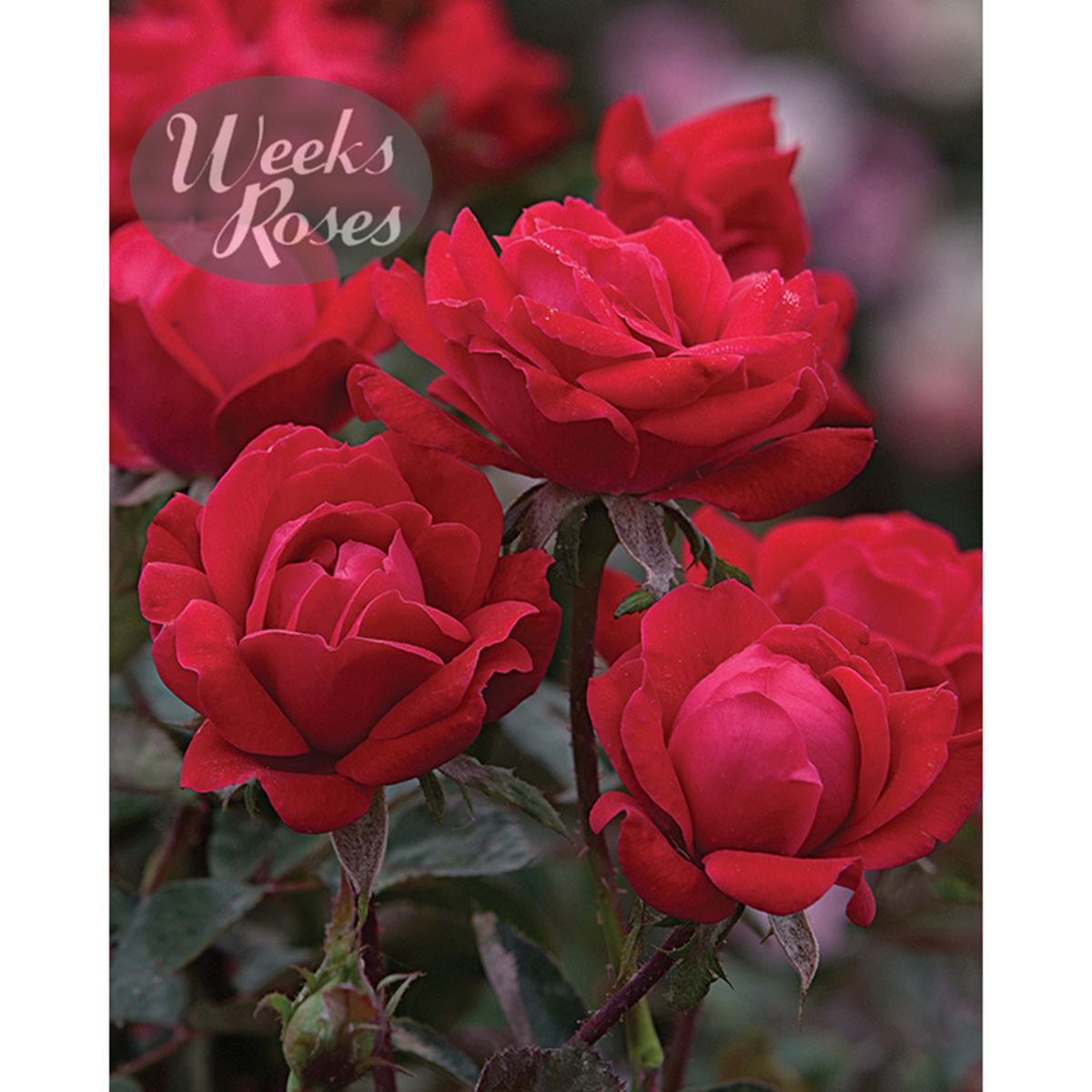 Rosa 'Double Knock Out'