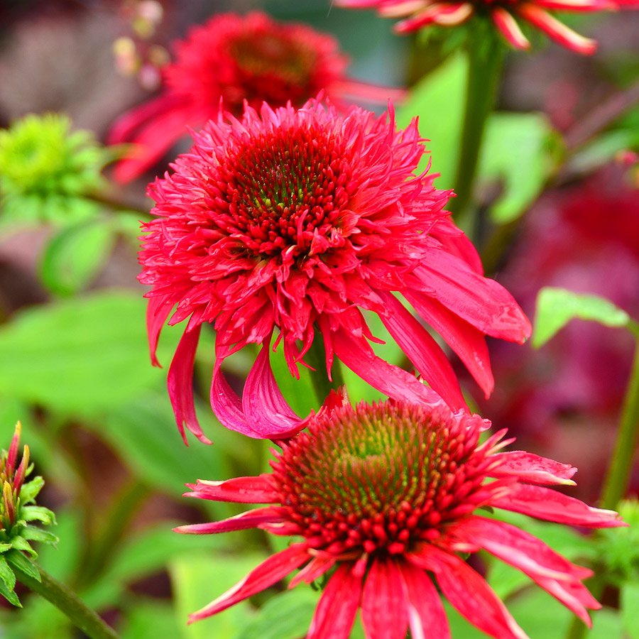Echinacea purpurea 'Double Scoop Raspberry'