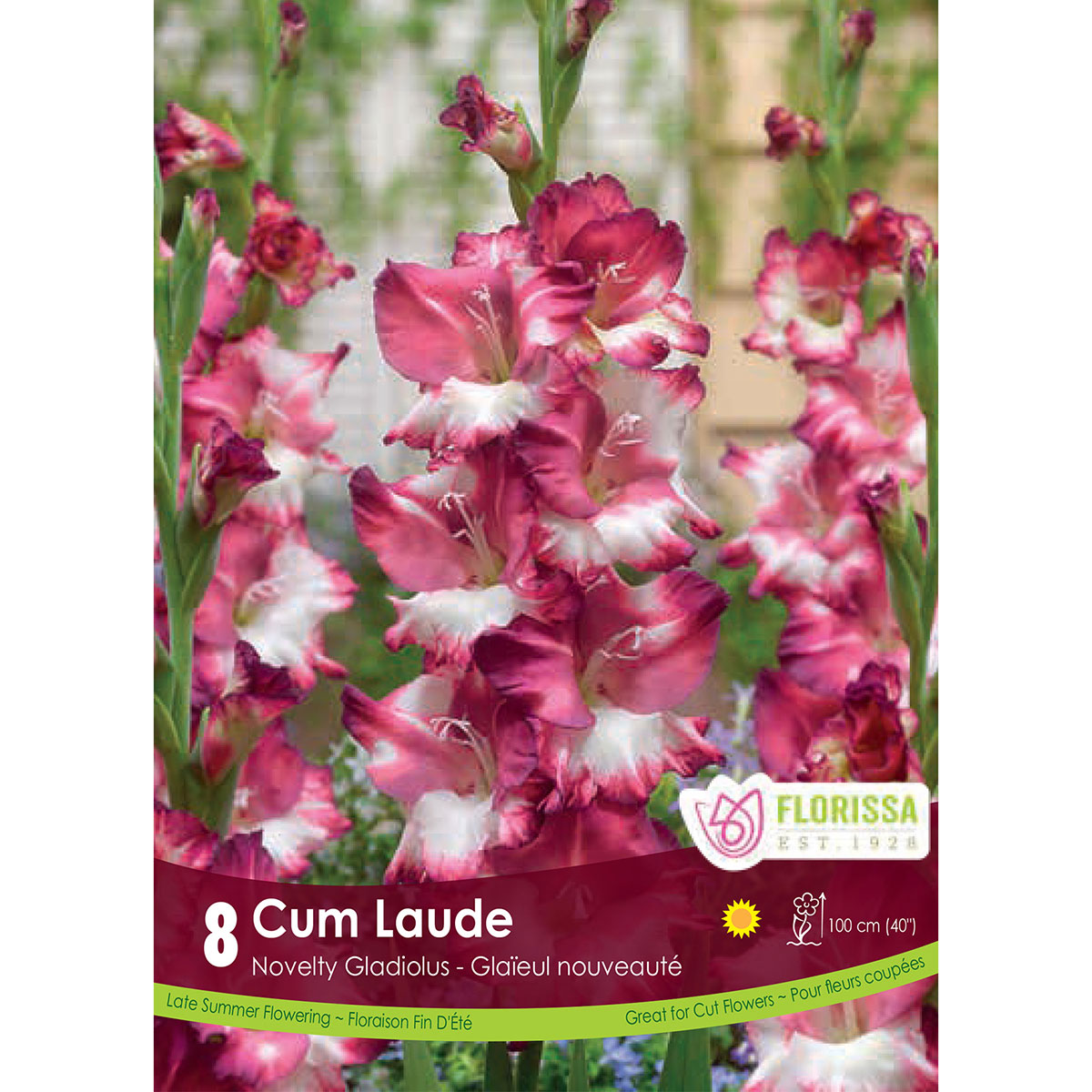 Gladiolus Dutch 'Cum Laude'  Bulbs
