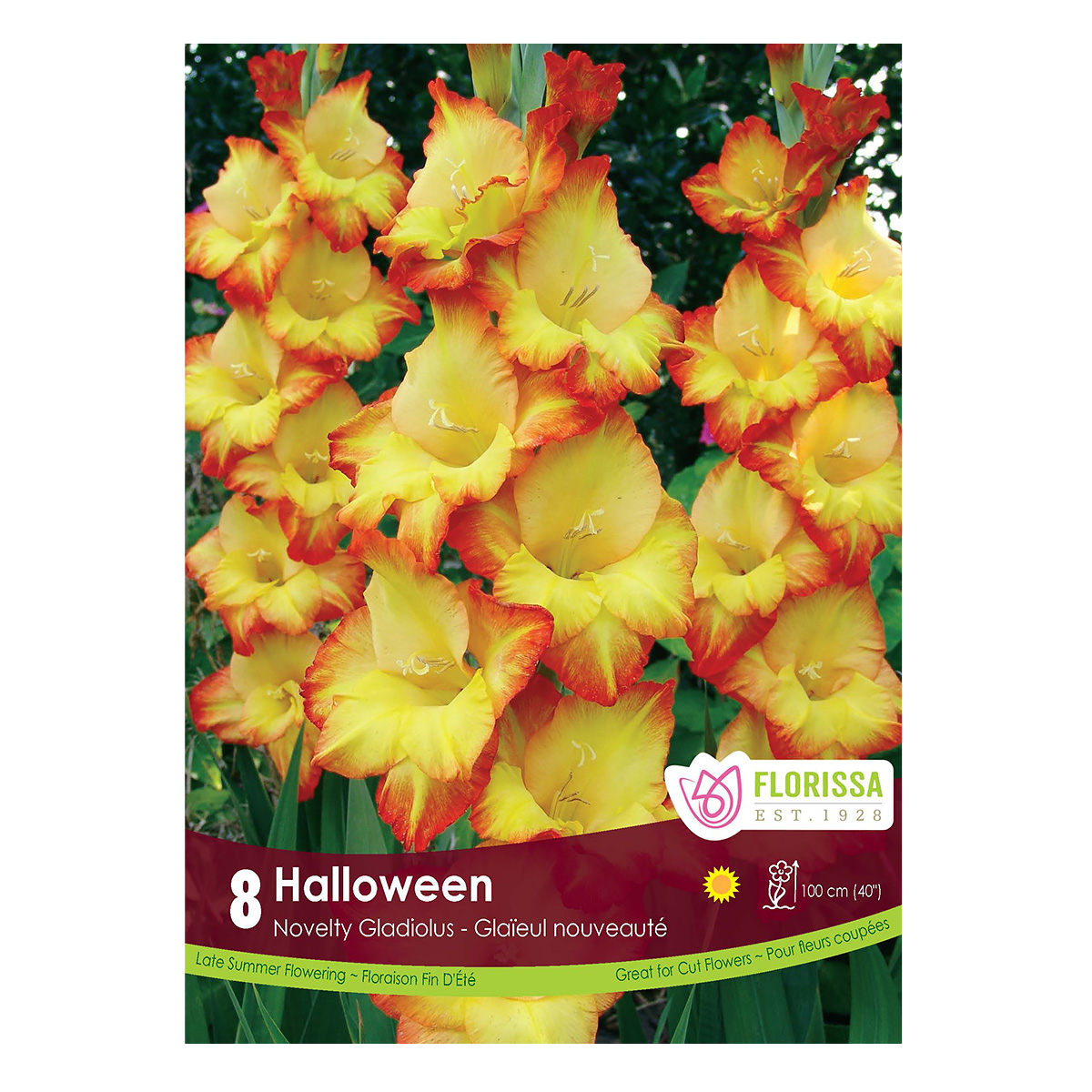 Gladiolus Dutch 'Halloween' Bulbs