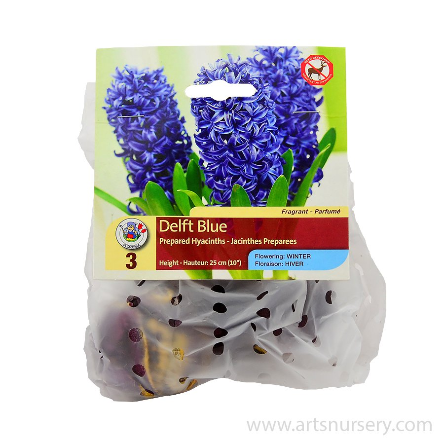 Hyacinth_Prepared_DelftBlue.jpg