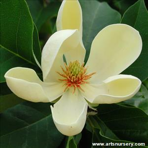 Magnolia x 'Yellow Bird'