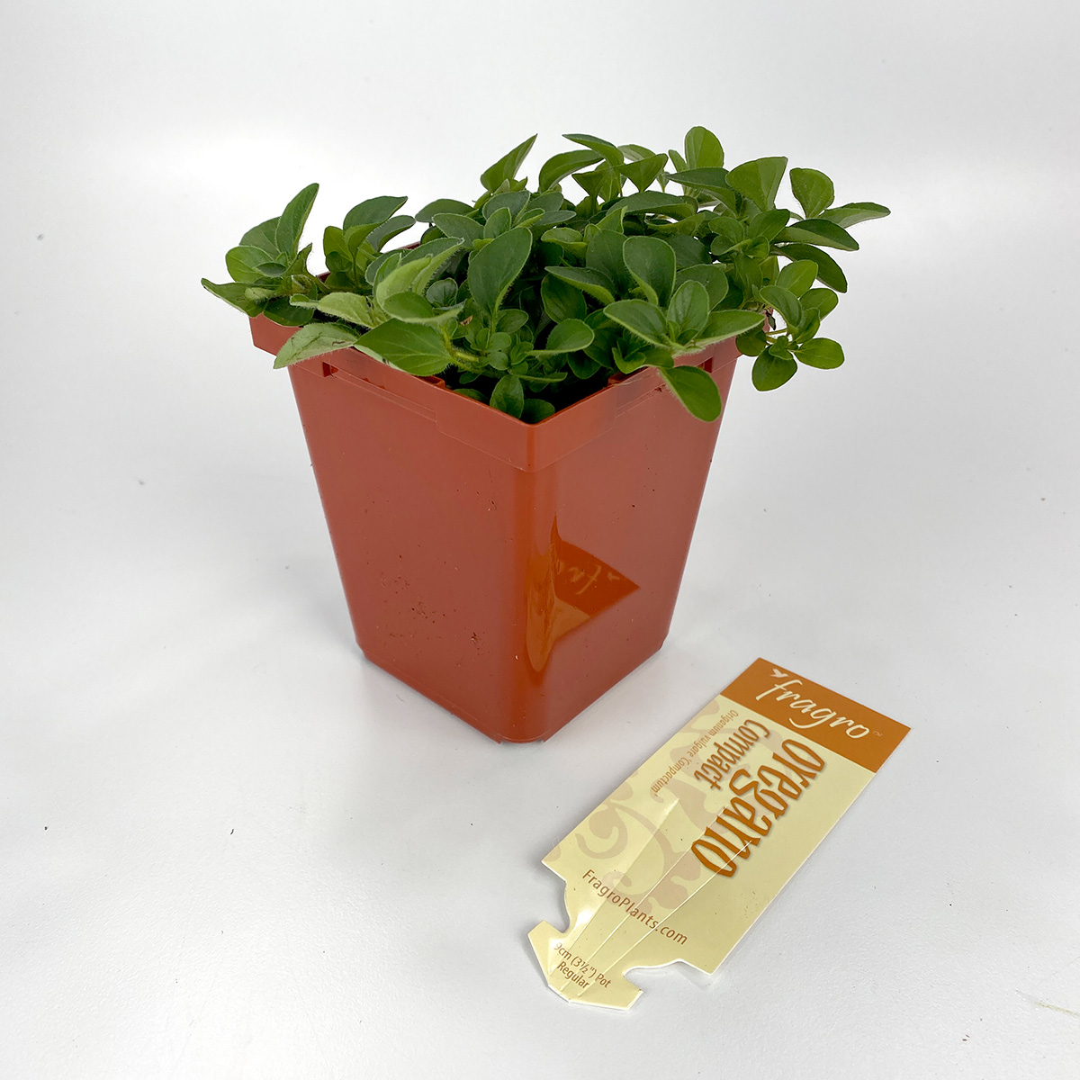 Oregano Compact 4in