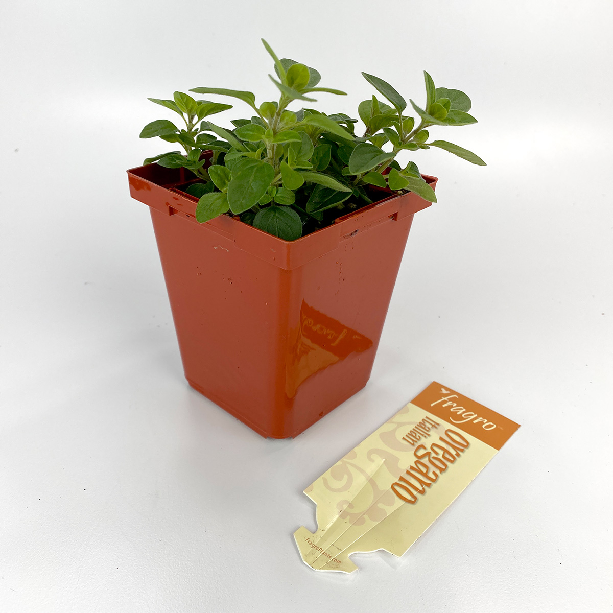 Oregano Italian 4in