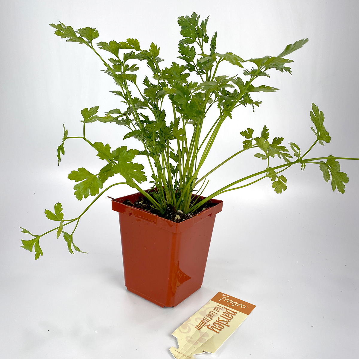 Parsley Flatleaf Italian 4in