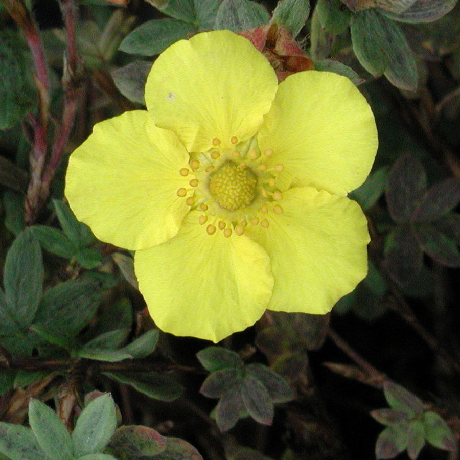 Potentilla_fruticosa_YellowGem.jpg