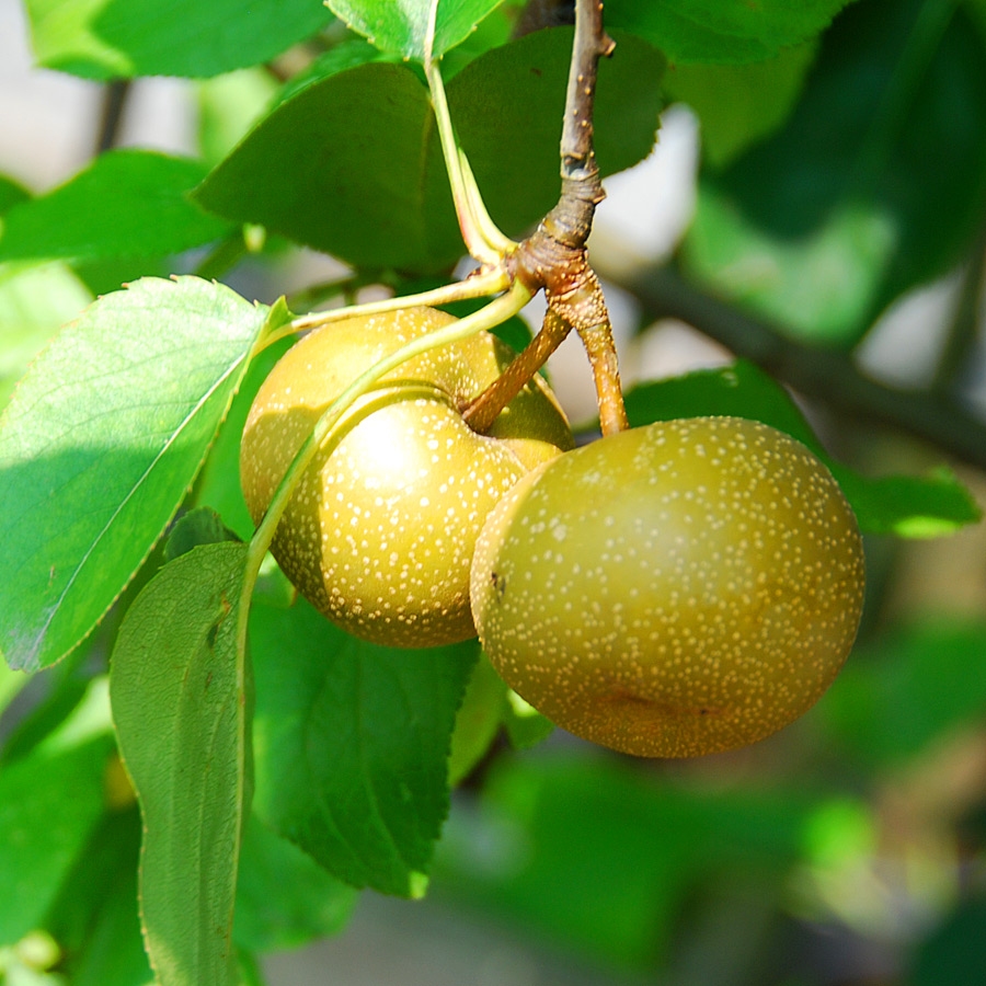 Pear Asian 'Chojuro'