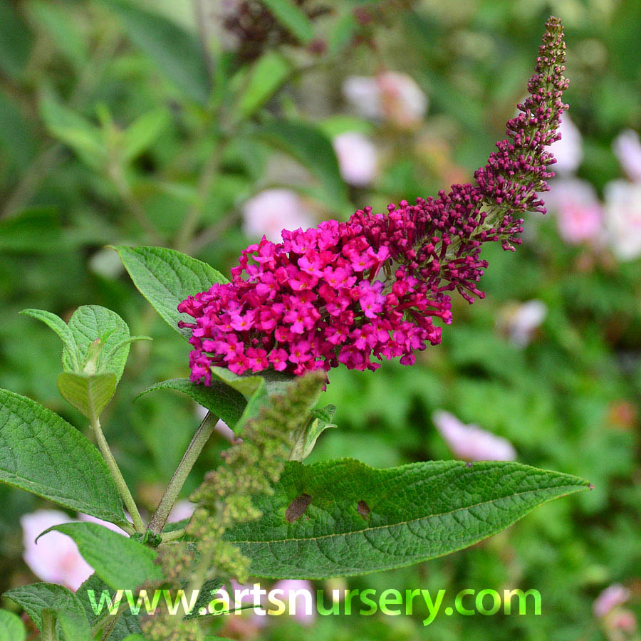 Buddleia 'Miss Molly'