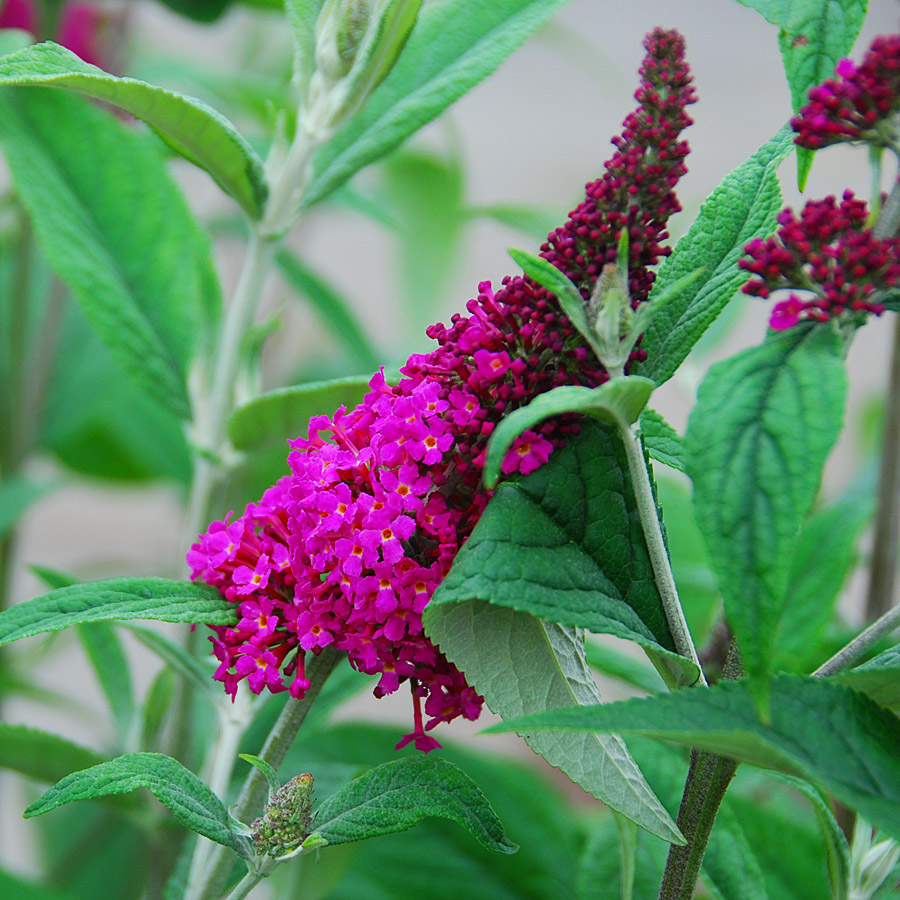 Buddleia davidii 'Miss Ruby'