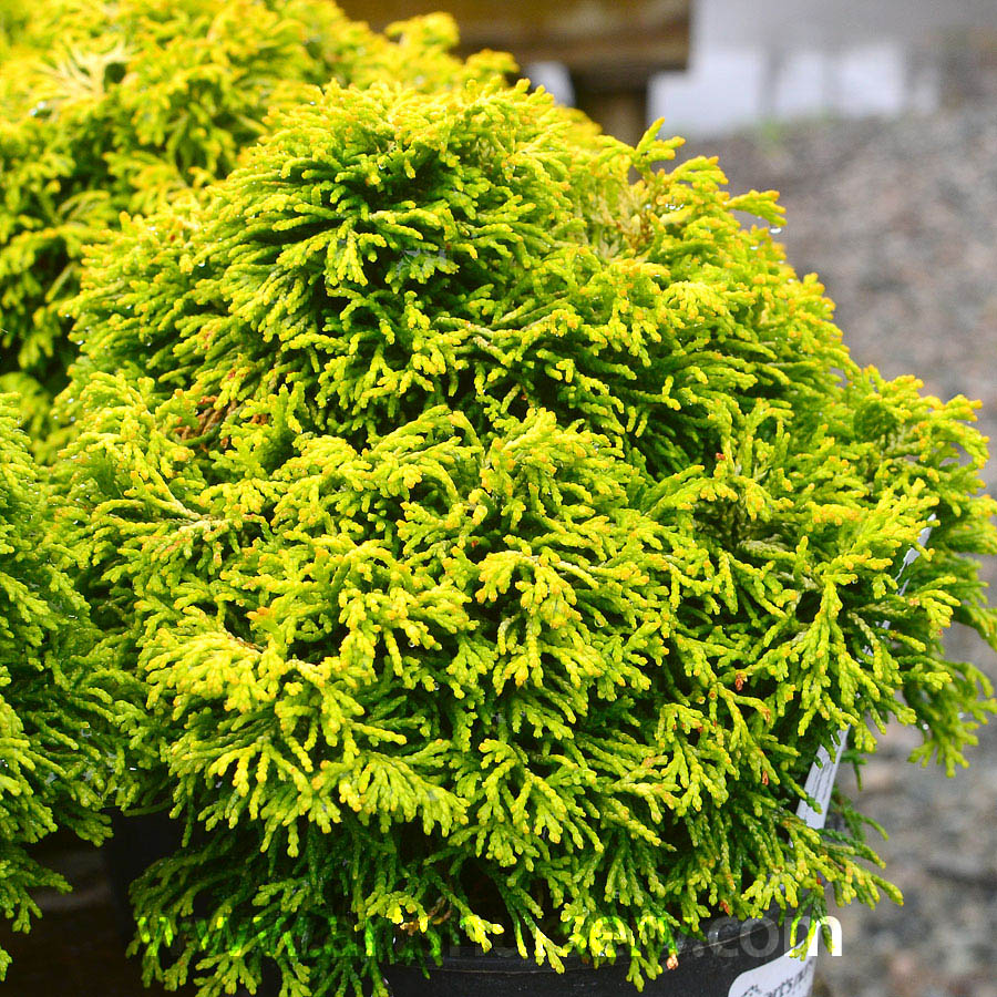 Chamaecyparis obtusa 'Butter Ball'