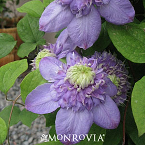 clematis_x_bluelight.jpg