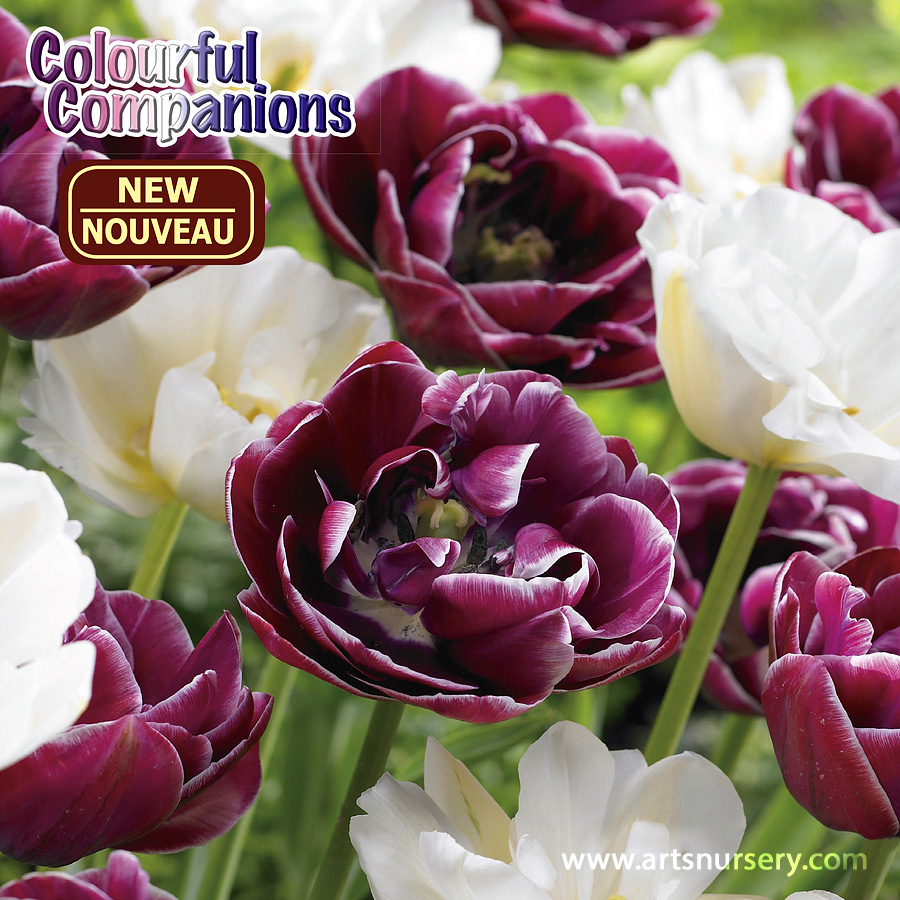 Colourful Companions 'Black Forest Frost' Bulbs
