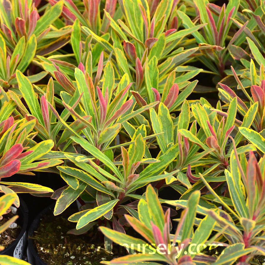 Euphorbia X Martinii Ascot Rainbow At Arts Nursery
