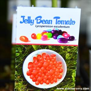 Jelly Bean Tomato - Red